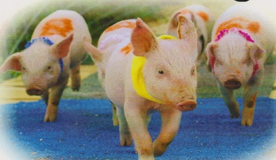 Three pigs in a race